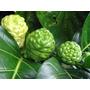 Sementes De Noni Supe Fruta Exotica Trata +de 120 Doença