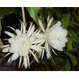 Dama Da Noite Branca Cactus Orquídea Epiphyllum Rainha Noite
