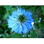 30 Sementes Da Exótica Flor Nigela Sortida
