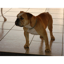 Bulldog Inglês Reprodutor - Pedigree Cbkc - Procura Namorada