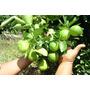 Mudas De Limão Taiti