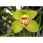 Orquidea Cymbidium Verde