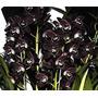 Orquidea Cymbidium Preto