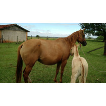 Cavalo Quarto De Milha Egua Baia Pura Prenha