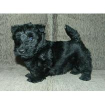 Filhotes De Scottish Terrier - Terrier Escocês ( Fêmea )