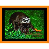 Filhote Labrador Chocolate Com Pedigree