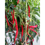 Sementes De Pimenta Cayenne Long Slin Promoção Frete Barato