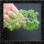 Mini Agrião Bubbles Gourmet Baby Leaf Sementes P/ Hortaliças