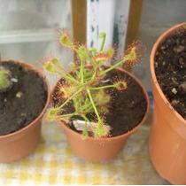 Planta Carnívora Drosera Madagascariensis + Vaso + Substrato