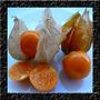 Physalis Edulis - Goldenberry Cape Sementes Fruta P/ Mudas