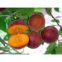 Muda De Dovyalis Por Alporquia Cerca 70cm Fruta Do Campari