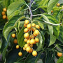 Sementes Árvore Do Intelecto Celastrus Paniculatus P/ Mudas