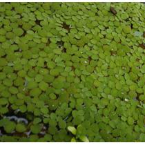 Salvínia Auriculata Planta Flutuante Aquários Lagos Alevinos