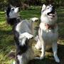 Curso Adestramento Video Aulas Husky Siberiano Frete Gratis