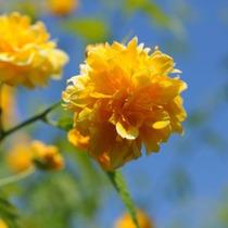 Mudas Da Rosinha Japonesa - Rosa Do Japão - Kerria Japonica