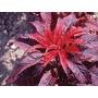 Sementes De Amaranthus Bicolor Bico De Papagaio Planta Fogo