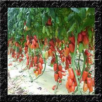Tomate Italiano San Marzano Sementes Para Mudas