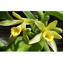 C Muda De Baunilha - Orquídea Vanilla Planifolia 30 Cm