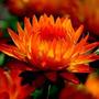 150 Sementes De Flor Sempre Viva + Frete Gratis!