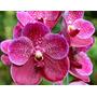 C Orquídea Vanda Robert´s Delight, Pink Adulta