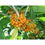 100 Sementes De Fruta Do Sabiá 16,00 Frete Grátis
