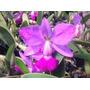 Orquídea Cattleya Walkeriana Flamea D Terezinha - Meristema