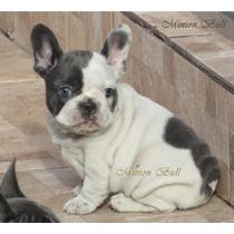 Bulldog Frances Femea Blue Pied Excelente Padrao