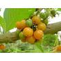 Fruta-do-sabiv Acnistus Arborescens - 250 Sementes
