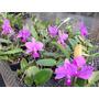 Orquídeas Kit Iniciante Cattleya Walkeriana (4 Cores)
