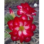 Rosa Deserto Kit Vermelho ( 6 Cores - 18 Sementes) Adenium