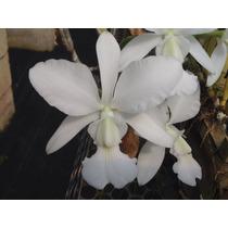 Orquídea Cattleya Walkeriana Alba N2192 - Corte