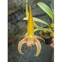 Orquídea Bulbophyllum Lobbii - Adulta Já Carrega Flores !!!