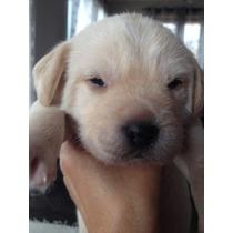 Labradora Femea Amarela