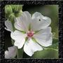 Althaea Officinalis Malva Marshmallow Sementes Flor P/ Mudas