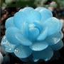 5 Sementes De Lithops, Pedra Jade - Frete Grátis Rosa - Muda