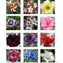 12 Sementes De Rosa Do Deserto - 12 Cores-frete Grátis-raras