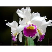 Mudas De Orquidea Cattleya Branca Com Roxo