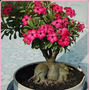 30 Sementes Rosa Do Deserto Mix Adenium Obesum+30 Cores Muda