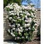 Sementes Flor Rosa Trepadeira Branca P/ Mudas Importadas