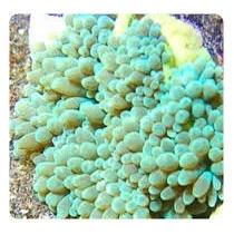 Corais Para Aquario Marinho - Anemona Buble Tip Green