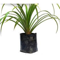 Plantas Ornamentais - Palmeiras - Pandanus Utilis