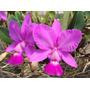 Orquídea Cattleya Walkeriana Tipo Elza - Corte