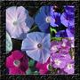 Trepadeira Ipomoea Ipomeia Choice Mix Sementes Flor Pra Muda