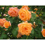 Sementes Da Rosa Trepadeira Laranja - Espetaculo !!