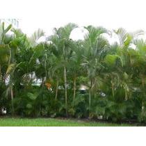 7 Mudas Palmeira Areca Bambu Com 15 A 30 Cm De Altura .