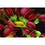 Planta Carnívora 20 Sementes, Rosa Jardim Planta Rara