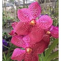 C Orquídea Vanda Sarao Cherry Bomb Xfantastic Fanfare Adulta