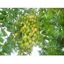 Neem Indiano 50 Sementes Mais Brinde Frete R$12,00