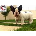 Bulldog Francês Filhote Macho Linhagem Importada
