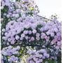 Sementes De Árvore Pompom Flores Belíssimas Plantas Mudas